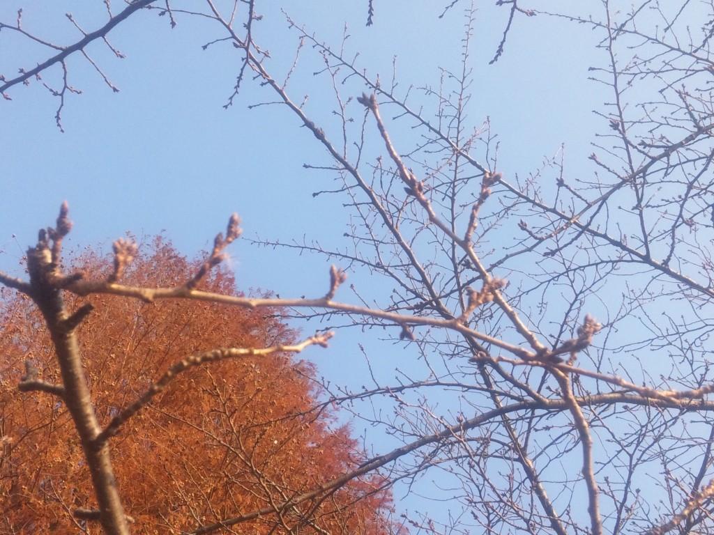 井の頭公園桜の芽