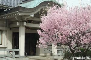 月窓寺の桜