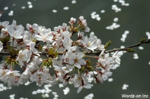 水面に散りゆく桜