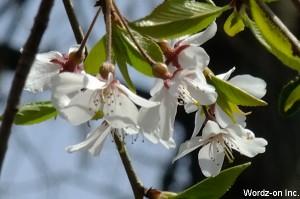白い垂れ桜