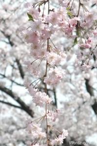 八重の垂れ桜