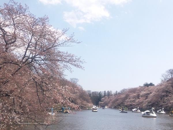 井の頭池の五分咲きの桜