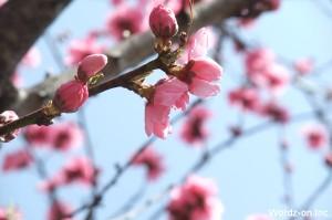 井の頭公園駅の桜