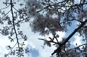 井の頭池のほとりの桜