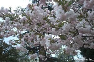 吉祥寺遅咲きの桜
