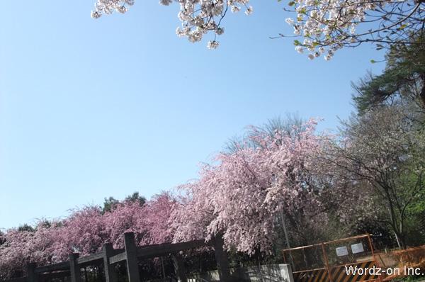 3色の垂れ桜