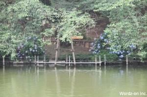 井の頭池と紫陽花