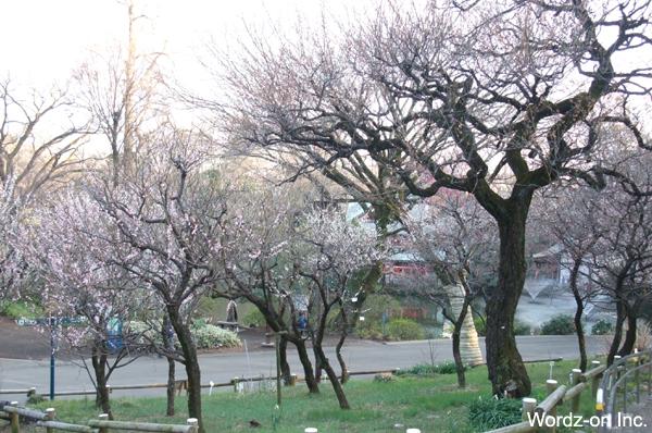 井の頭公園梅林2013