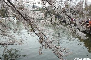 井の頭公園七井橋の桜