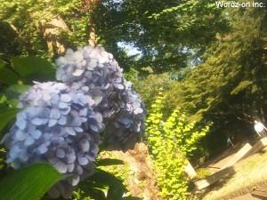 井の頭公園の紫陽花