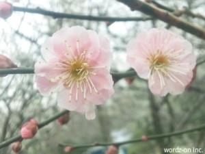 井の頭公園梅林の梅