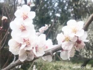 井の頭公演梅林の梅(