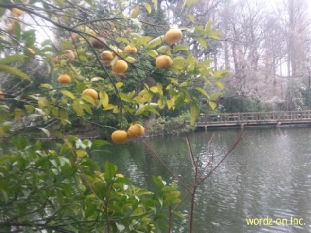 井の頭公園の黄色い果実