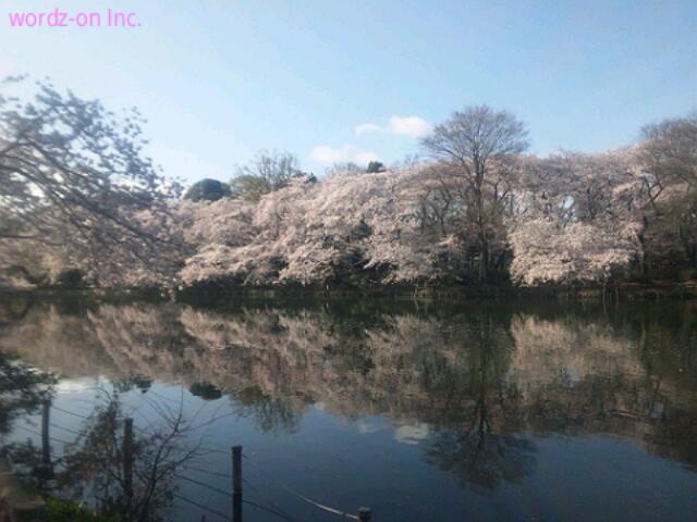 井の頭池の逆さ桜