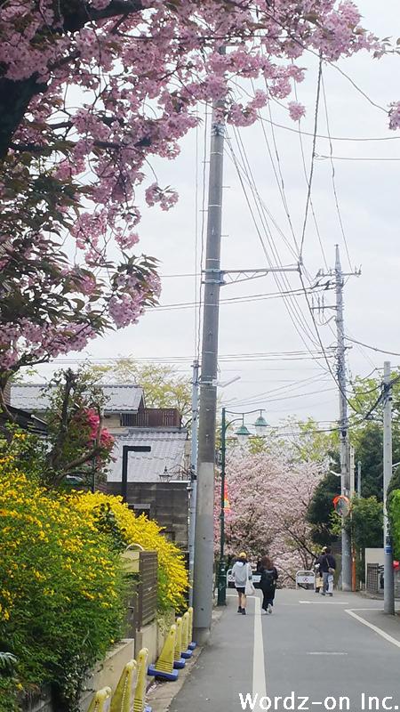 井の頭公園に続く道と桜