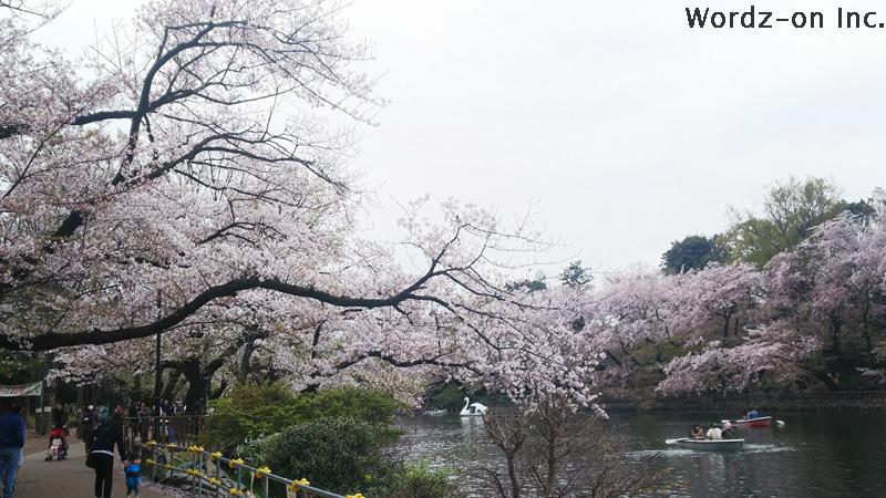 井の頭池畔の桜